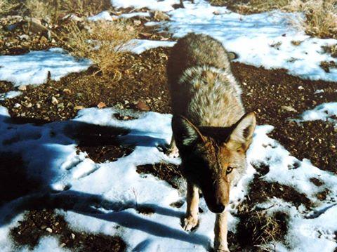 coyote85