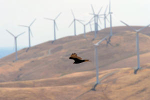 "A turkey vulture flies among the dormant wind turbines at the now mothballed Tres Vaqueros wind farm in the Altamont area of Contra Costa County, Calif., on Friday, May 8, 2015. The question of how many birds are killed on the Altamont Pass by the wind turbines located there has once again reared its ugly head. The number of estimated deaths due to the turbines ranges from zero to about 6,000 per year. This includes birds of all species including golden eagles. A new ""background mortality"" study, which will come up with estimates on how many birds in the area might be dying from causes other than the turbines, will be released soon. (Dan Honda/Bay Area News Group)"