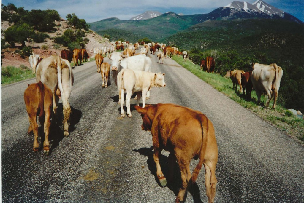cow-lasal