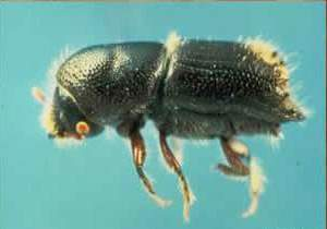 Bark beetle - kinda cute, but lethal. Photo courtesy of USGA.