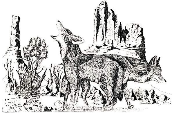 a-coyotes2 copy