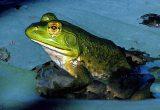 bullfrog__rana_catesbeiana