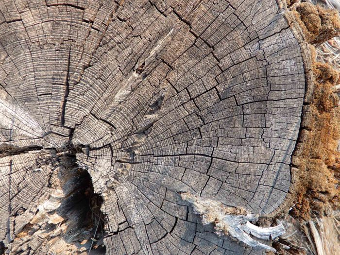 Tree rings on the downed juniper.