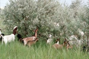 Goats graze on a Russian olive tree at the Barker Ranch in Washington State.