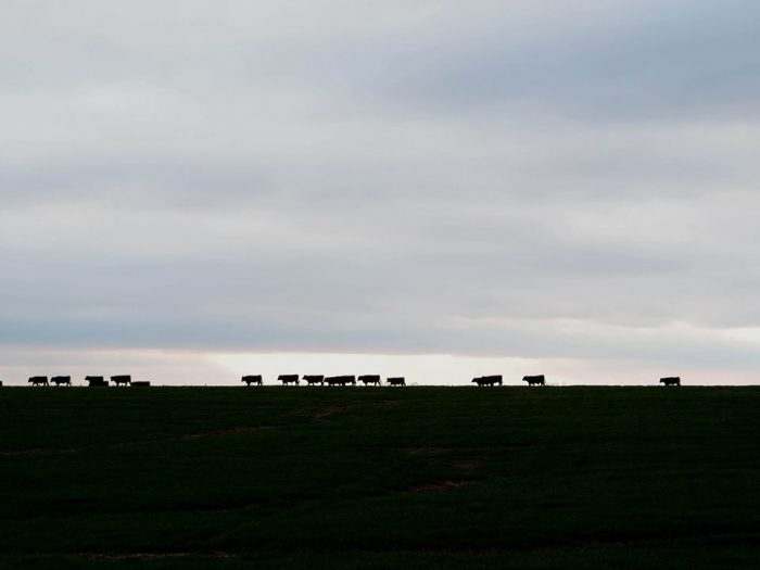 Kansas Cows. Photo by Jim Stiles