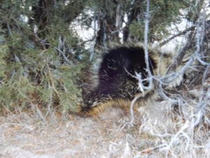 Porcupine at Arches. Photo by Jim Stiles