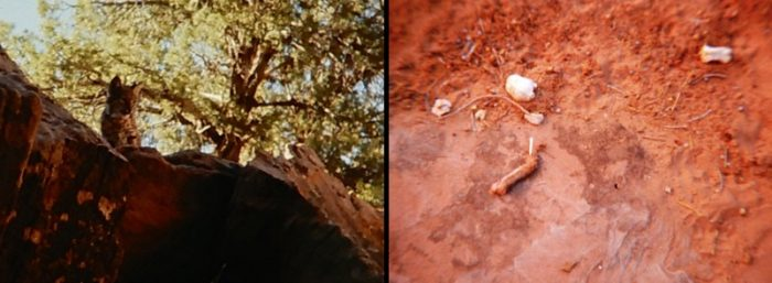 (Left) Bobcat at Arches. (Right) Remains of its meal. Photos by Jim Stiles