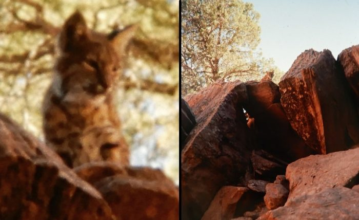Bobcat at Arches. Photos by Jim Stiles