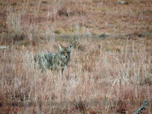 Coyote. Photo by Jim Stiles