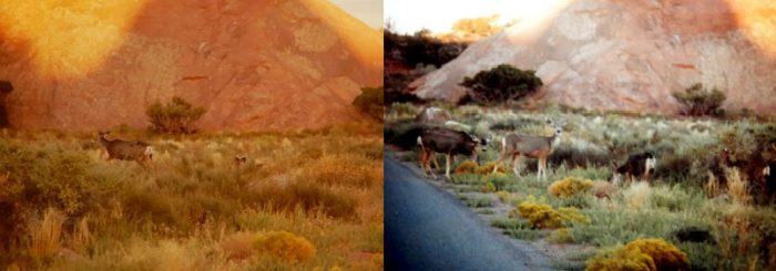 Mule Deer at Arches. Photos by Jim Stiles