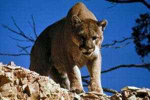 Mountain Lion. c/o Wikimedia Commons