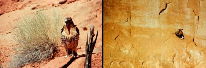 (left) Immature Red Tail Hawk and (right) Hawk in flight at Arches. Photos by Jim Stiles
