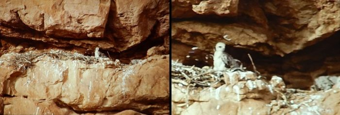 Baby Red Tail Hawk in its nest at Arches. Photo by Jim Stiles