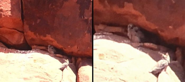 Owl fledglings at Arches. Photos by Jim Stiles