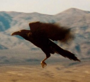 Raven in flight. Death Valley, CA. Photo by Jim Stiles