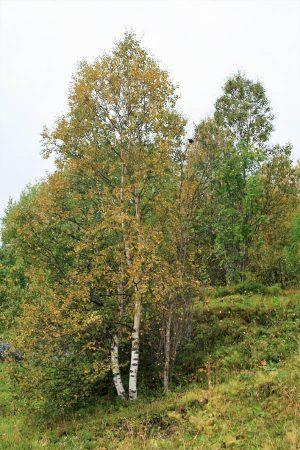 Two birch trees. Photo by Damon Falke