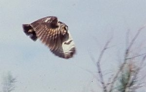 One of the many owls who preferred to nest in the Spring, before tamarisk removal. Photo by Jim Stiles