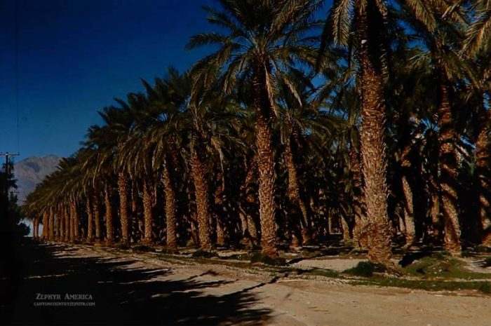 The Date Palms at Furnace Creek Ranch. Herb Ringer. 1960