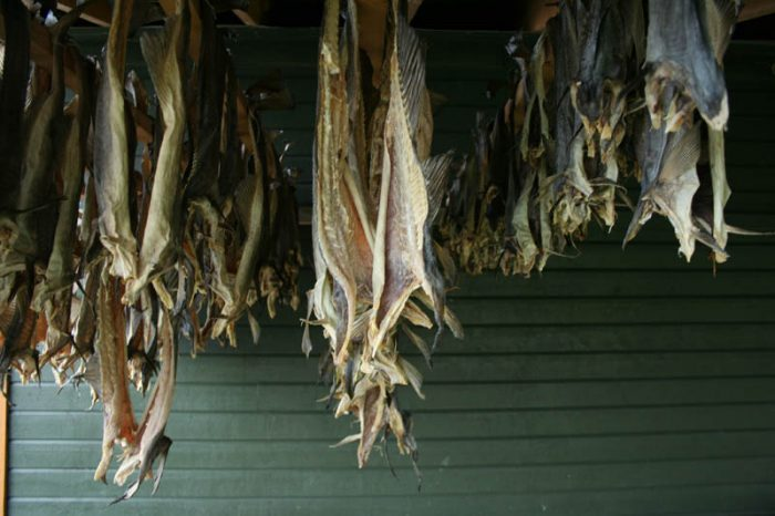 Local fishermen have hung torsk to dry. Photo by Damon Falke