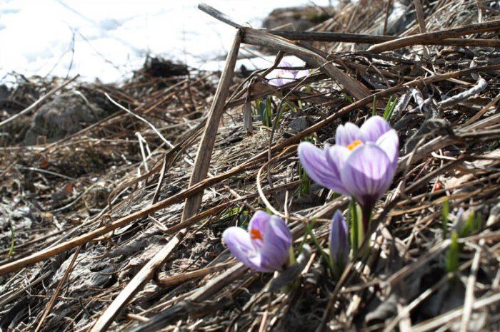 The first crocus flowers. Photo by Damon Falke